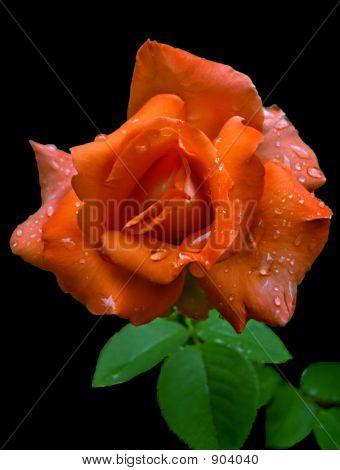 Coralrose