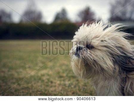 Cute, Scraggly Ungroomed Shih Tzu Dog In Wind