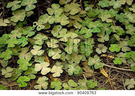 Three-Leaf Clovers