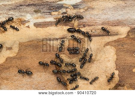 Large Black Ants On Firewood