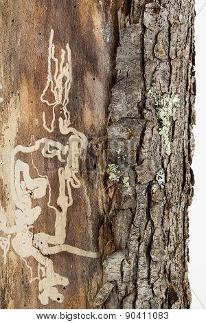 Insect Damage Kills Pine Tree