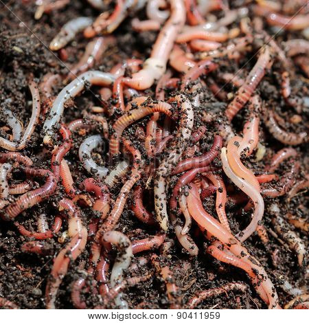 Earth Worms