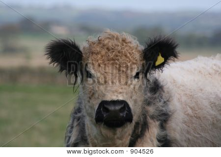 Teddy Bear Cow With The Most Wonderfully Cute Head That Makes Him Look Very Cuddly