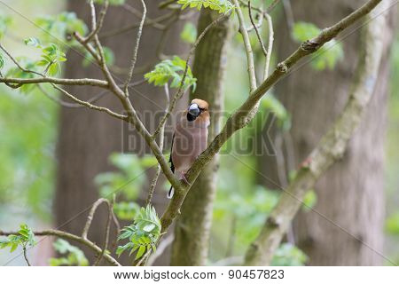 Hawfinch sitting in on branch in tree