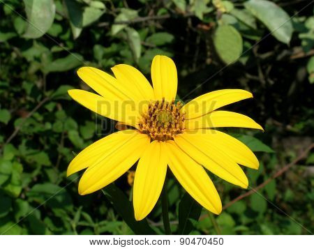 Sunroot flower