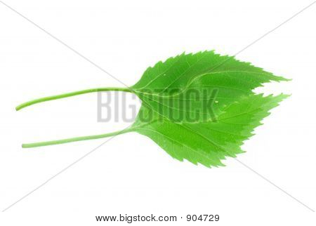 Green Leaf With Its Reflection On White Background
