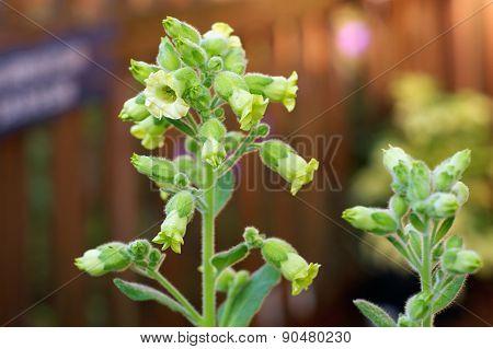 Flowers On Hopi Tobacco Plant