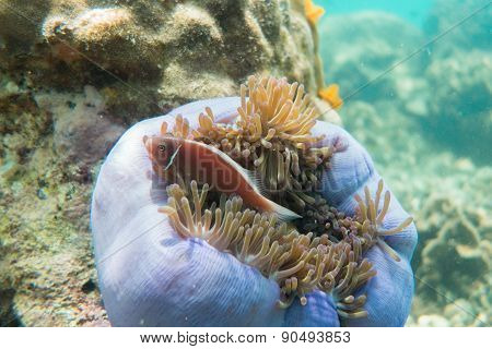 Fish in a sea anemone