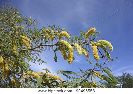 Golden Spring Earrings of Arizona Mesquite