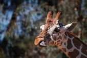 Brown spotted griraffe head with purple tongue and soft focus forest of trees poster