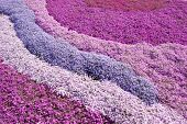 Purple, pink carpet of Phlox Subulata (creeping phlox, moss phlox, moss pink, or mountain phlox) flowers. poster