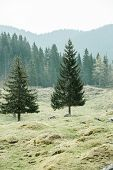 Lone trees on alpine pasture with healthy coniferous forest of spruce fir larch and pine trees in the background wilderness area. Sustainable industry ecosystem and healthy environment concepts. poster