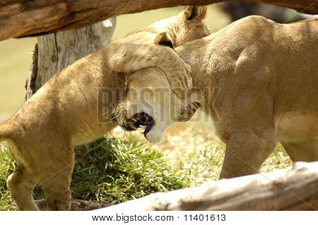 Lioness And Cub Wrestling