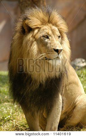 Lion Watching Pride