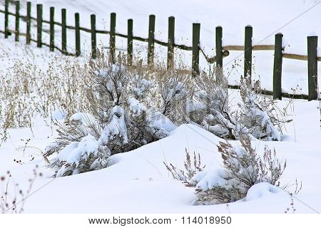 Sagebrush in the Snow