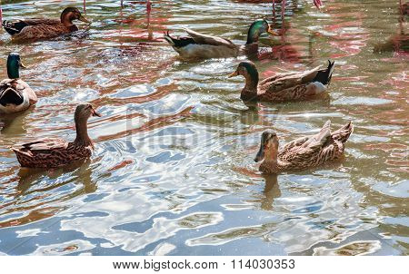 Motted Duck In The Park