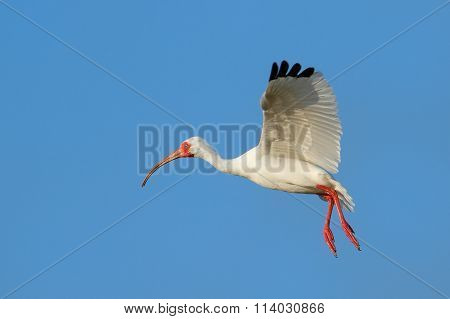 White Ibis Flying In Blue Sky
