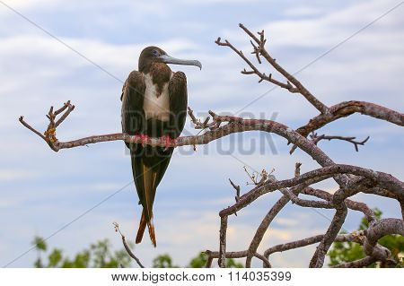 Female Magnificent Frigatebird Sitting On A Tree On North Seymour Island, Galapagos National Park, E