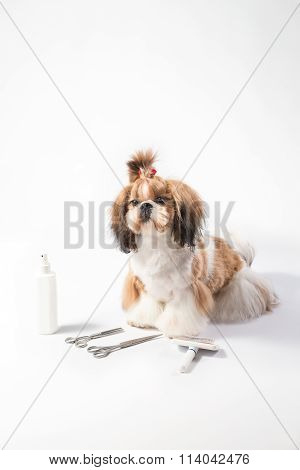 Ideal Shih-tzu Beauty Grooming Puppy