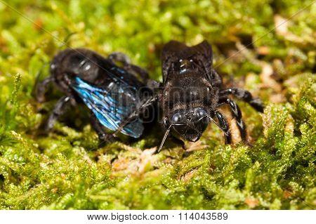 Macro Of Two Borer Bee In Moss