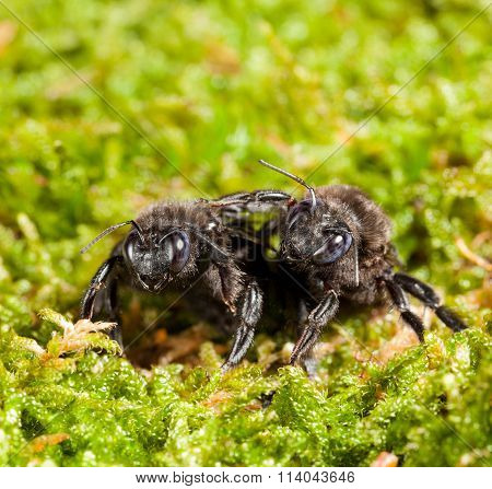 Two Black Carpenter Bee Over Moss Background
