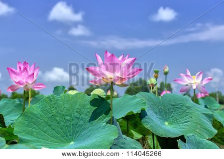 The lotus rising shine in the sky
