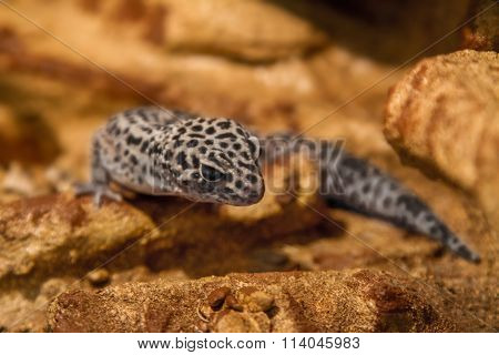 Exotic Reptile Eublepharis Animal Spotted On The Rocks