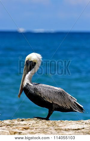 Side Of Little White Black Pelican