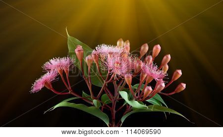 Elegant Bouquet Of Pink Eucalyptus Flowers With Sun Rays Isolated On Black Background