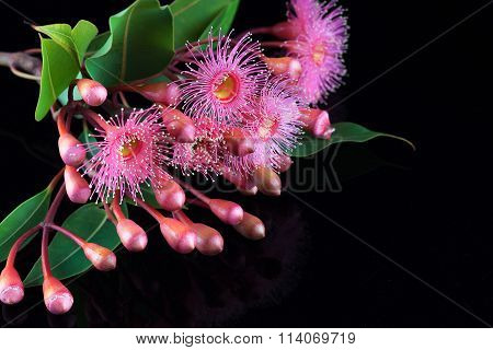 Elegant Bouquet Of Pink Eucalyptus Flowers And Buds Isolated On Black Background
