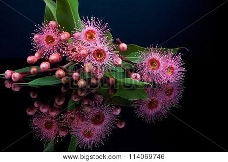 Elegant Bouquet Of Pink Eucalyptus Flowers And Buds With Reflection Isolated On Black Background