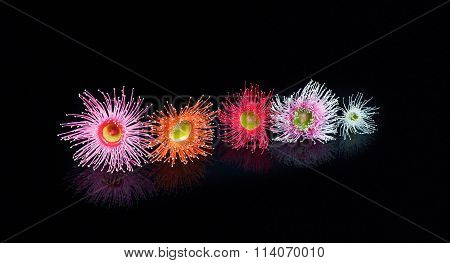 Colorful Eucalyptus Flowers In Pink, Orange, Red, Pink, And White, Isolated On Black