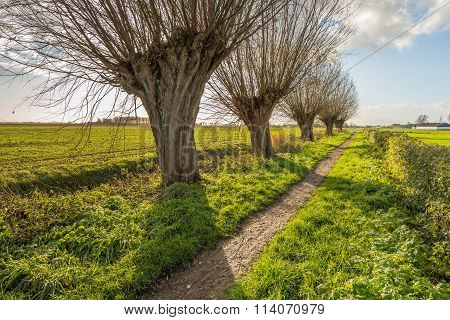 Small Path With Pollard Willows In A Row