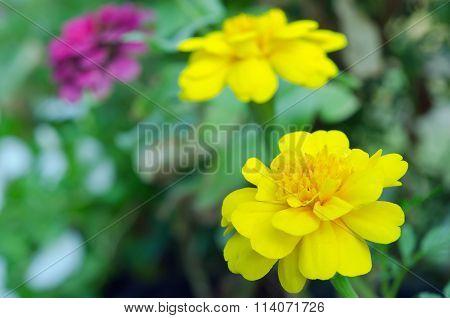 Yellow Aster Flower In Rama 9 (local Name) National Garden, Bangkok Thailand