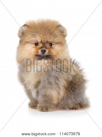 Pomeranian puppy isolated on a white background