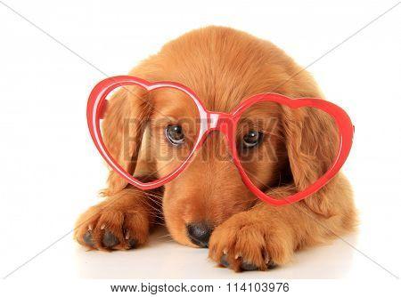 Irish Setter puppy wearing Valentine glasses.
