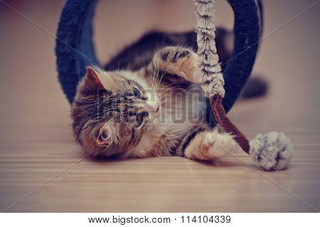 The Domestic Multi-colored Kitten Plays