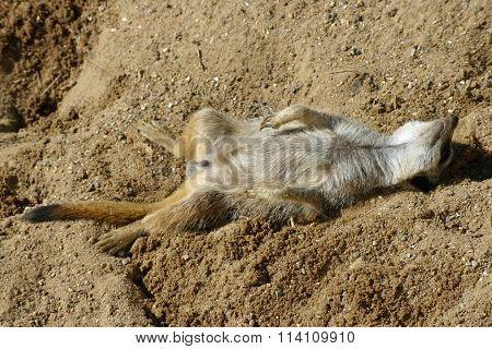 Meerkat asleep