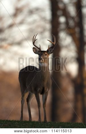 Large White-tailed Buck On A Hillside