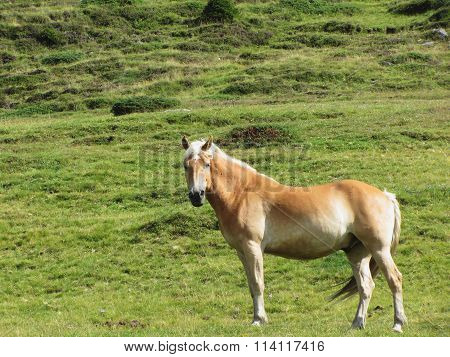 Single Horse In An Alpine Pasture . Sesto Dolomites, South Tyrol, Italy
