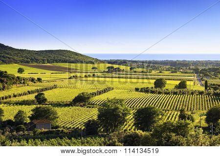 Bolgheri And Castagneto Vineyard And Elba Island. Maremma Tuscany, Italy