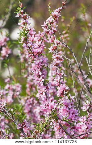 Blooming steppe almond (Prunus tenella)