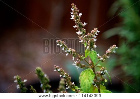 Spiked Patchouli Flower Buds