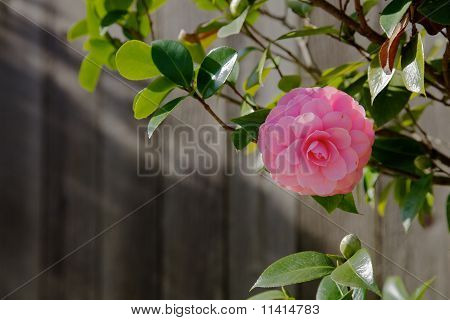 Single Pink Camelia Fence