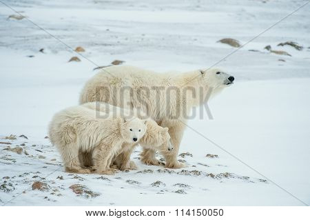 Polar She-bear With Cubs. A Polar She-bear With Two Small Bear Cubs On The Snow.