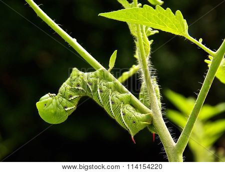 Tomatoe /Tobacco Hornworms on a Tomatoe Plant