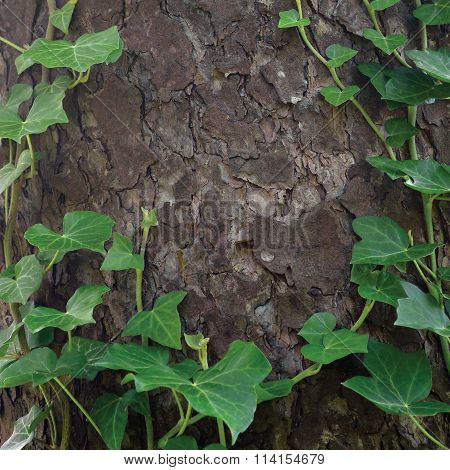 Climbing Common Baltic Ivy Stems, Hedera Helix L. Var. Baltica, Fresh New Young Evergreen Creeper