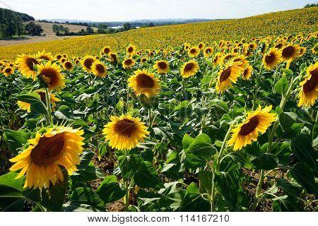 Sunflower Farm Field