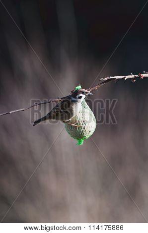 European Sparrow