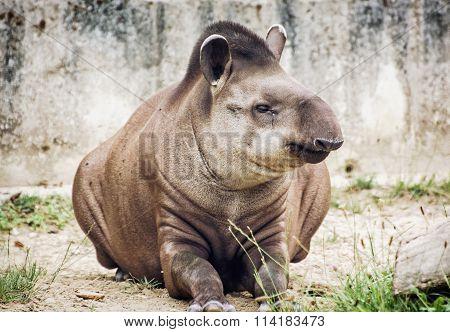 South American Tapir (tapirus Terrestris), Animal Scene